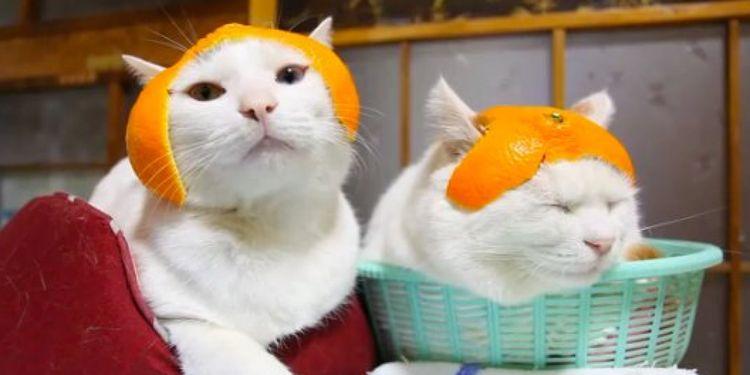 Коты в шапочках из апельсиновой кожуры