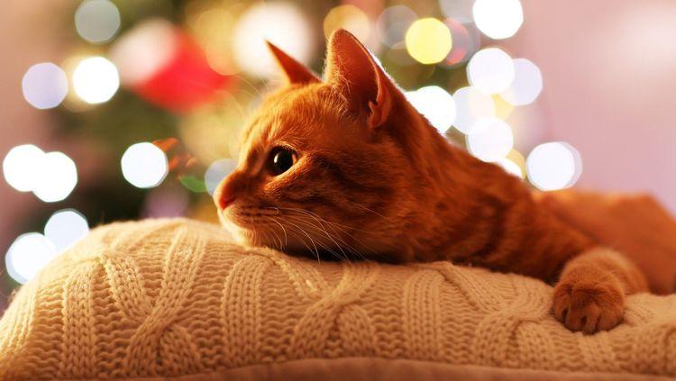 Рыжая кошка лежит
