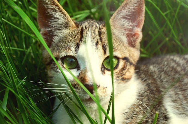 Зеленоглазый кот в траве