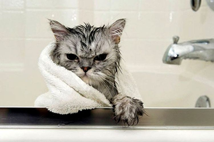 Когда можна купать кота