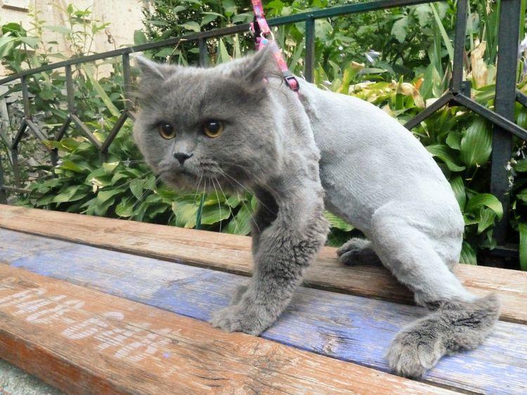 Подстриженный кот в стрессе