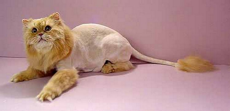 Кот с кисточкой на хвосте