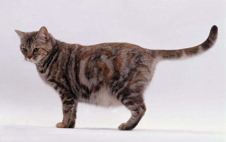 Беременная кошка стоит