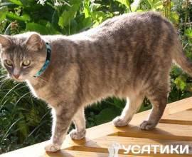 Серый кот в ошейнике