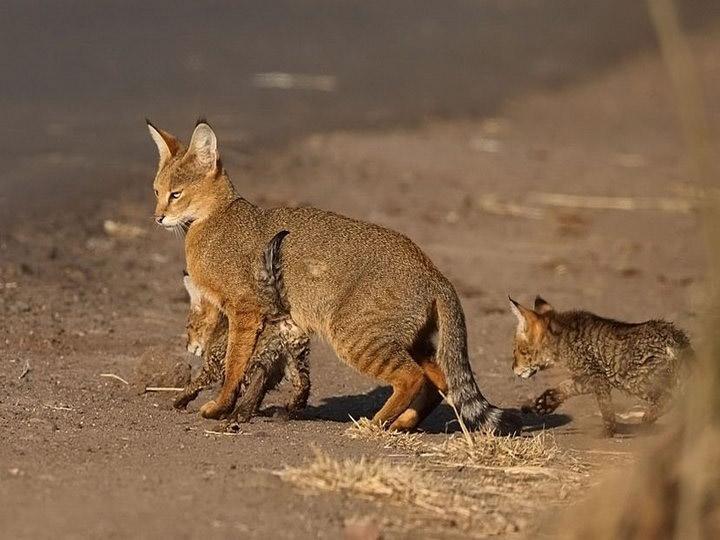 камышовая кошка котята