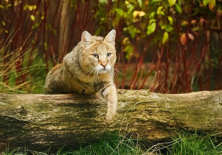 хаус кот порода