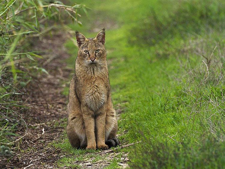 порода кошек камышовая