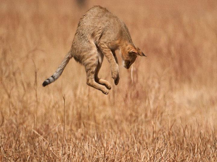 Камышовая кошка в природе