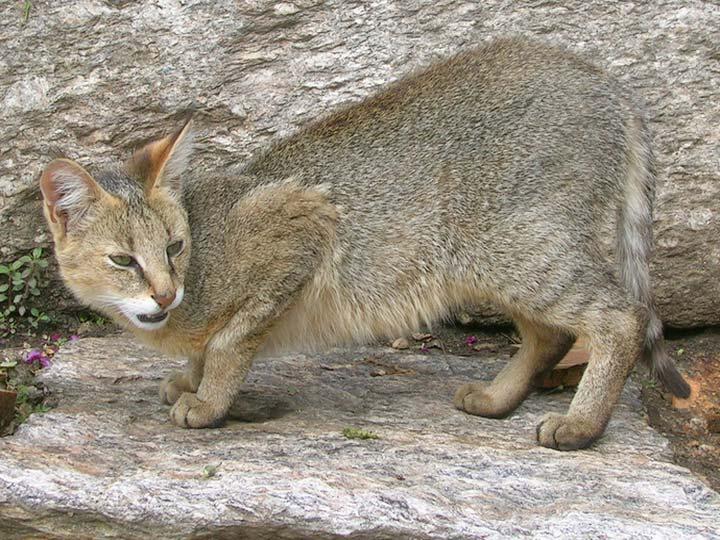 порода Камышовая кошка