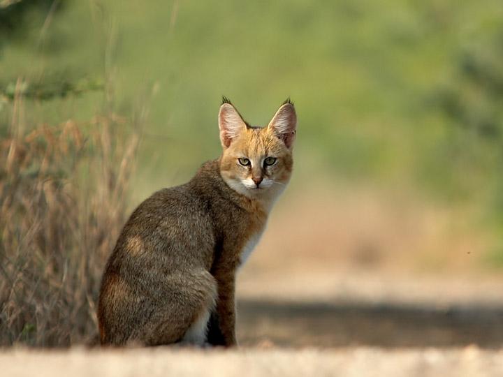Камышовая кошка дома