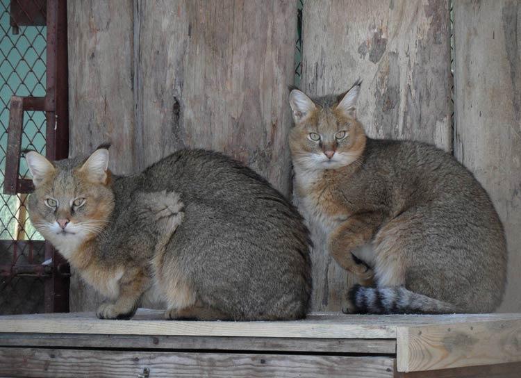 Содержание камышовых кошек