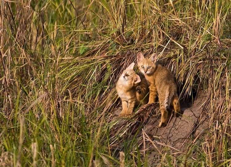 сколько стоят котята камышовой кошки