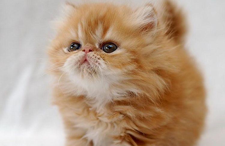 Рыжий персидский котенок