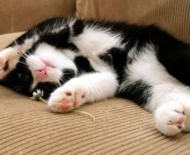 Черно-белый кот на диване