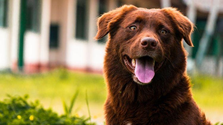 Рыжий пес с открытой пастью