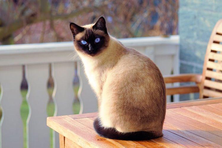 Сиамская кошка сидит на скамейке