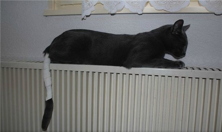 Кот с забинтованным хвостом
