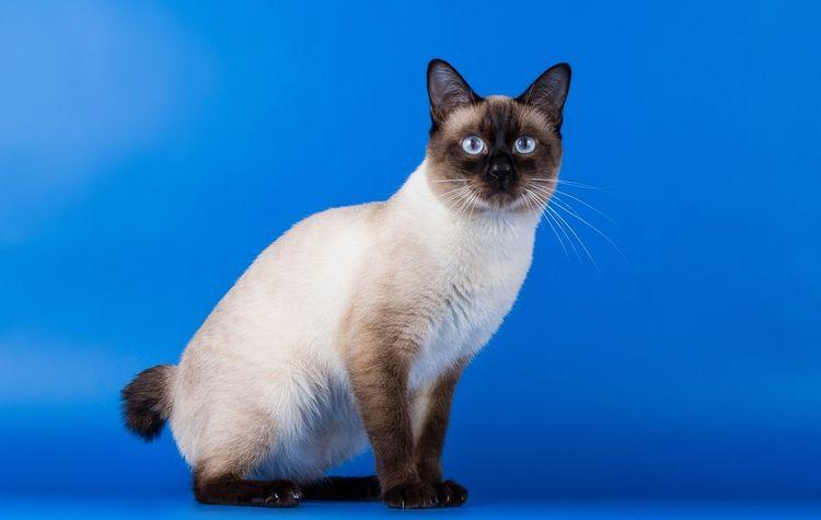 Бесхвостый кот гибридной породы