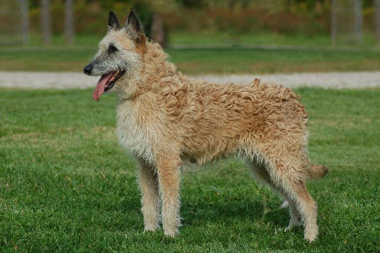 Бельгийсская овчарка лакенуа