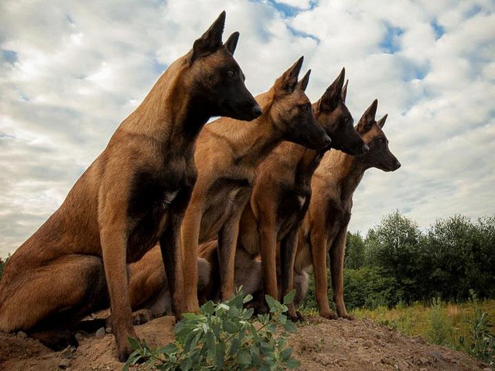 бельгийские собаки малинуа