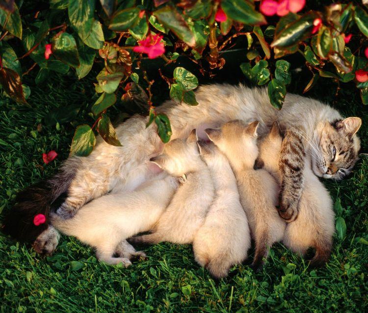 Кошка кормит котят на лужайке