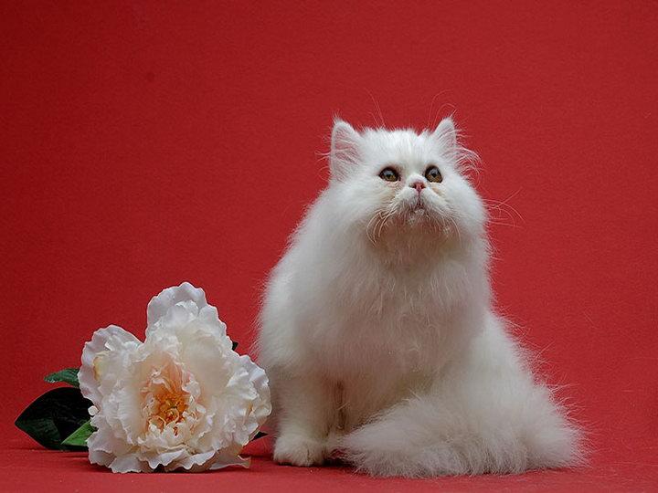 Минуэт порода кошек