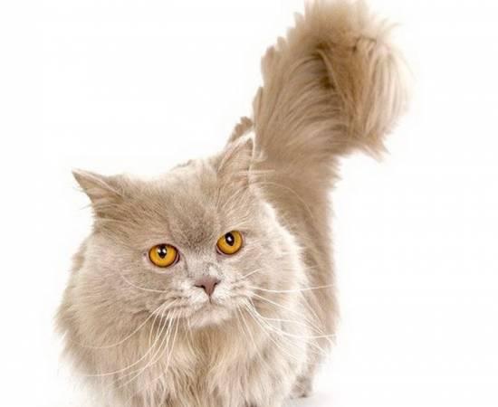 кошки породы наполеон