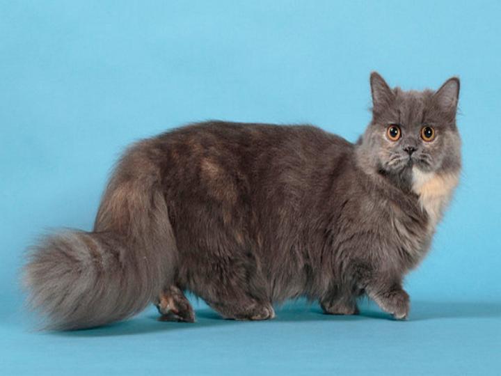кошки наполеон окрасы