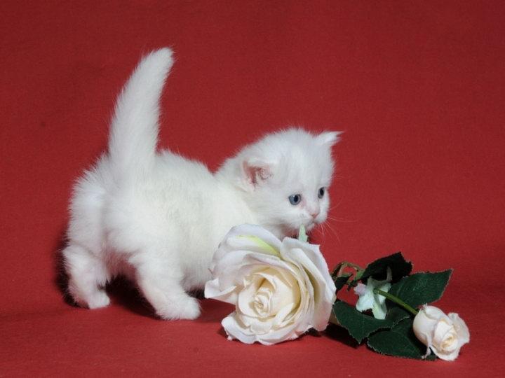 котенок наполеон белый