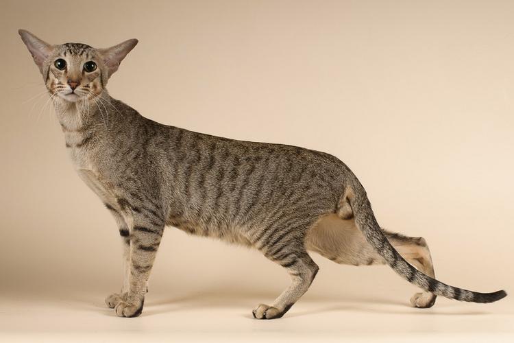 Ориентальный кот