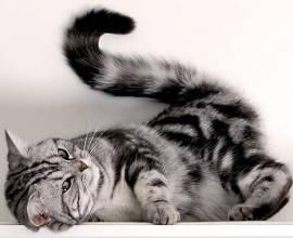 Красивый кот с пушистым хвостом