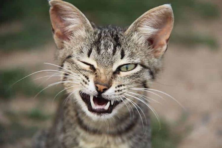 Кошка скалит зубы