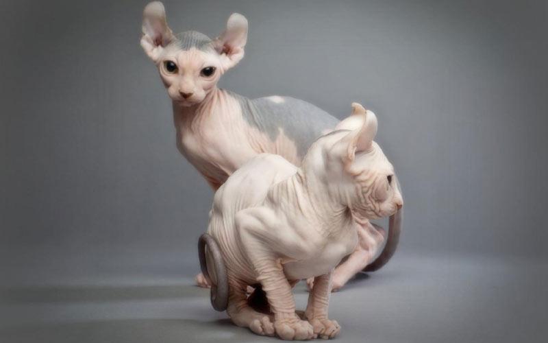 Эльф - редкие породы кошек