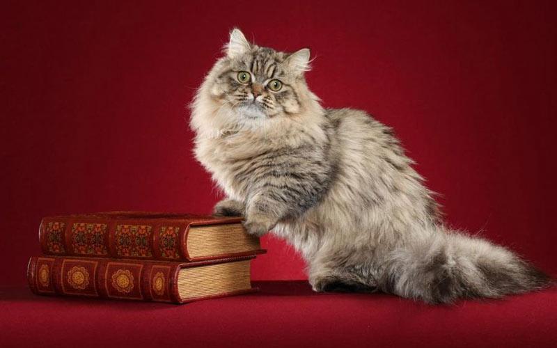 Наполеон - редкие породы кошек