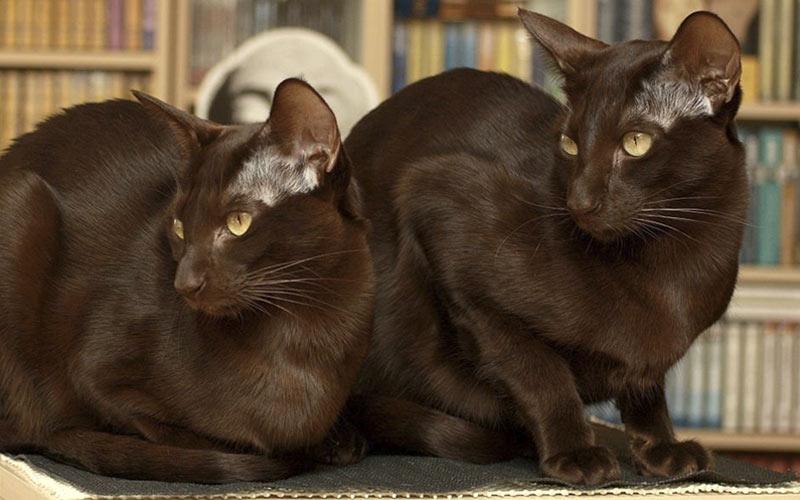 Гавана - редкие породы кошек