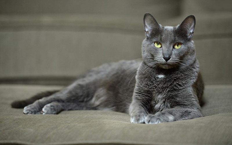 Корат - редкие породы кошек