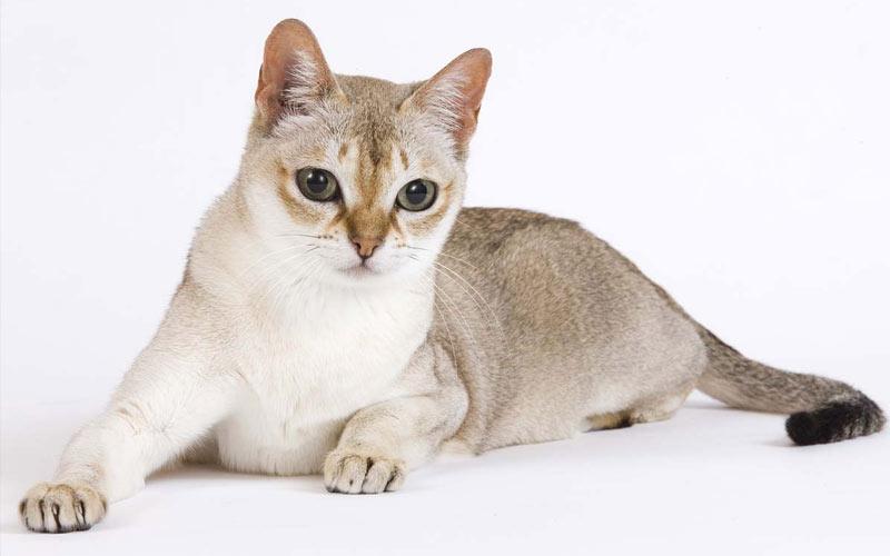 Сингапура - редкие породы кошек