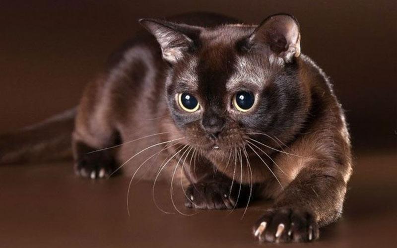 Европейская бурманская кошка - редкие породы кошек
