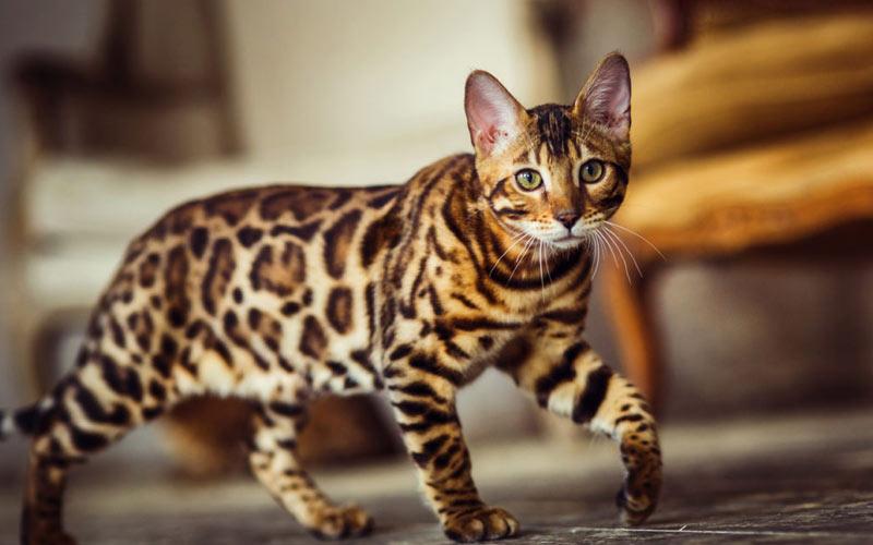 Ашера - редкие породы кошек