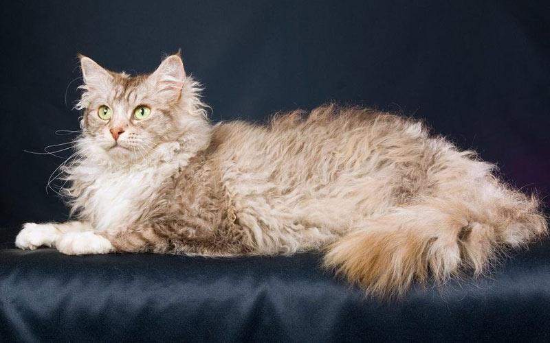 Лаперм - редкие породы кошек