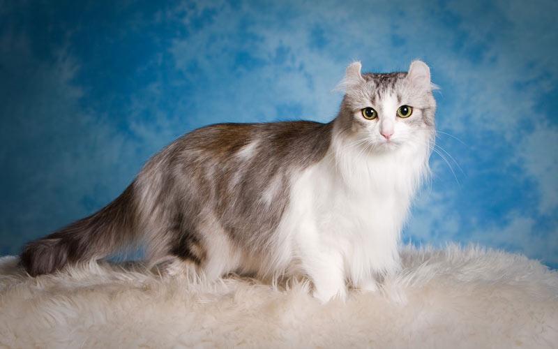 Американский керл - редкие породы кошек