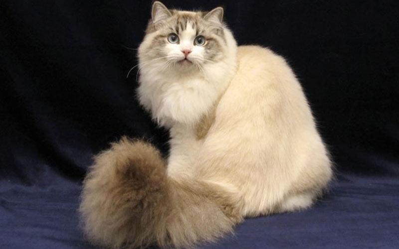 Рагамаффин - редкие породы кошек