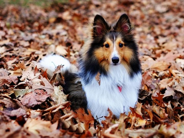 порода собак шетландскаяие овчарка