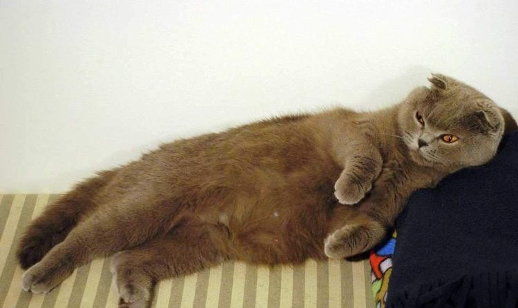Беременная вислоухая кошка