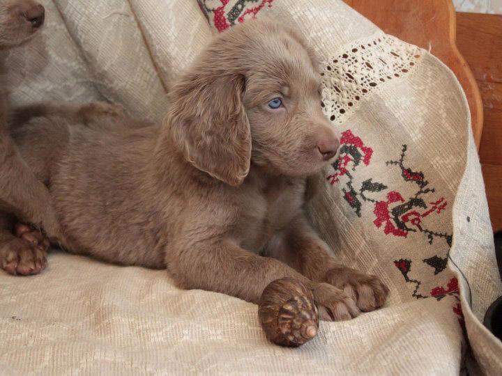длинношерстный щенок веймаранера