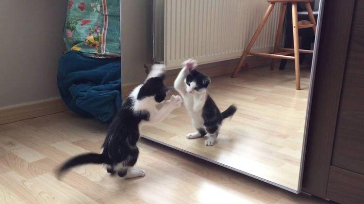 Кот играет со своим отражением в зеркале