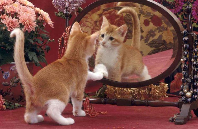 Кошка смотрит на свое отражение