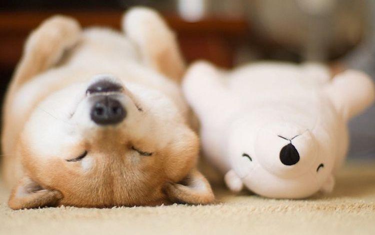 Собака лежит на спине рядом с игрушкой