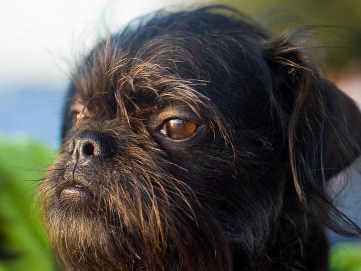 бельгийская собака