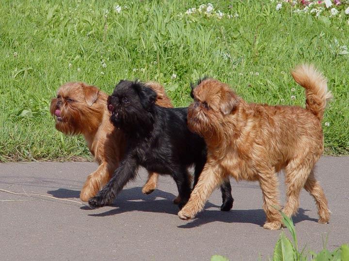 порода собак гриффон